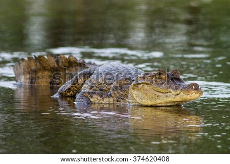 Spectacled Caiman, White Caiman, Common Caiman, Caiman crocodilus, Cano Negro Wildlife Reserve, Arenal Volcano, Costa Rica - stock photo