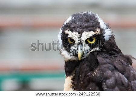 Spectacled owl looking closely at the camera. - stock photo