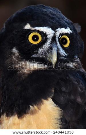 Spectacled owl with beautiful eyes - stock photo