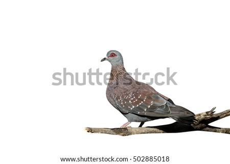Spectacled pigeon, Columba guinea, single bird on ground, South Africa, August 2015