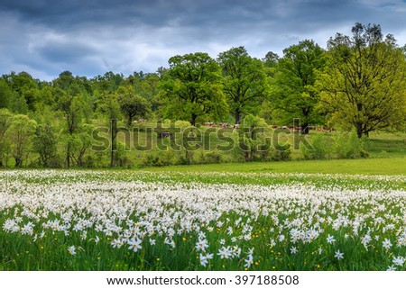 Spectacular field of daffodils blooming in early summer on a wonderful cloudy day - stock photo