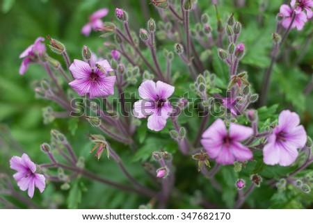 Madeira Cranesbill Geranium Maderense Geraniaceae Stock Photos ...