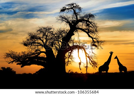 Spectacular sunset with baobab and giraffe on african savannah - stock photo