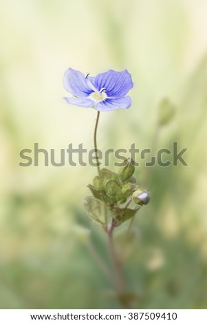 Speedwell (Veronica germander) flower against a pastel green blurred background. Brecon Beacons, April - stock photo