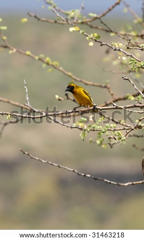 Speke's Weaver in African national park - stock photo