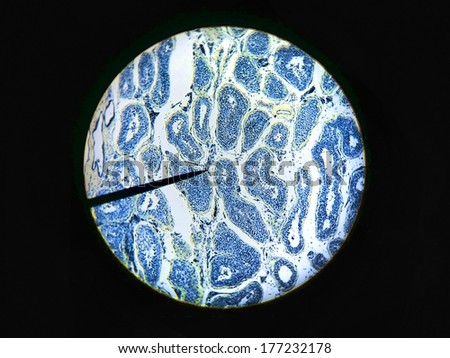 Sperm produced in the seminiferous tubules microscopic cross section of male testes testis T.S tissue background science medical anatomy physiology  - stock photo