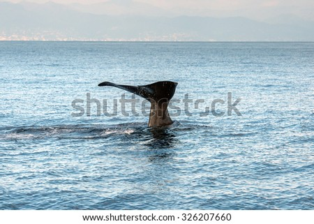 Sperm whale in the blue mediterranean sea - stock photo