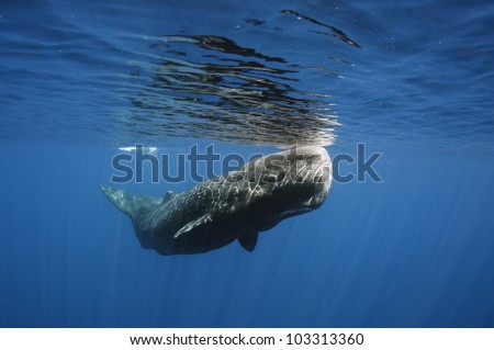 Sperm whale off Sri Lanka - stock photo