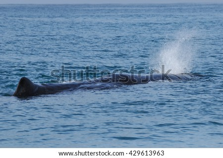 Sperm Whale. Picture taken from whale watching cruise in Kaikoura, New Zealand