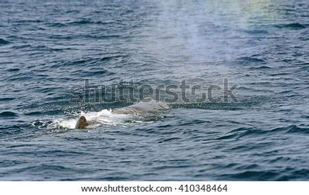Sperm Whale. Picture taken from whale watching cruise in Strait of Gibraltar