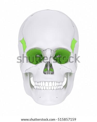 sphenoid bone