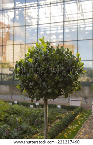 Spherical tree at a glass wall - stock photo