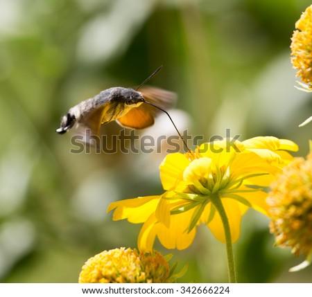 Sphingidae, known as bee Hawk-moth, enjoying the nectar of a yellow flower. Hummingbird moth. Calibri moth. - stock photo
