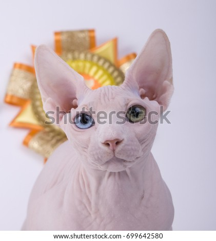 Sphinx bald cat on white background