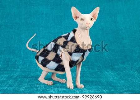 Sphinx cat wearing jersey jacket on teal blue background