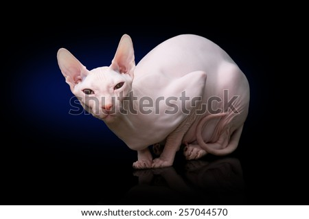 Sphinx hairless cat  - stock photo