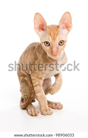 Sphinx kitten isolated on white