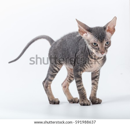 SPHINX small breed kitten on a white background
