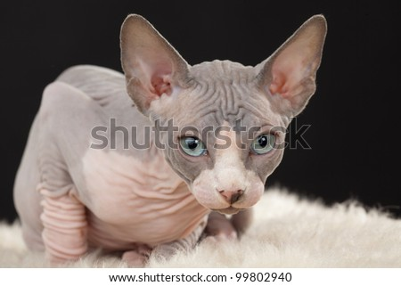 Sphynx (Canadian hairless) kitten on the black background
