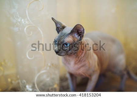 sphynx cat - stock photo