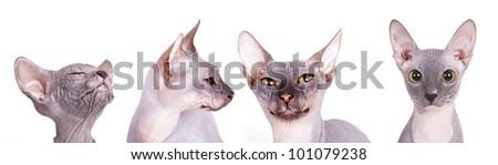 Sphynx cat breed - stock photo