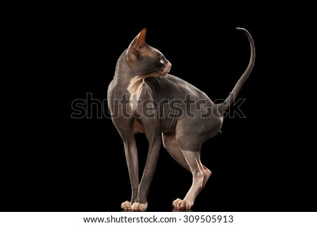Sphynx Cat Funny Standing and Looking Back Isolated on Black Background