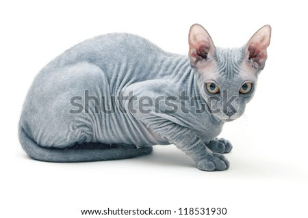 sphynx cat in front of white background - stock photo