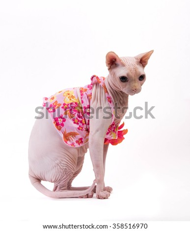 Sphynx cat in pink dress sitting on white background in the studio