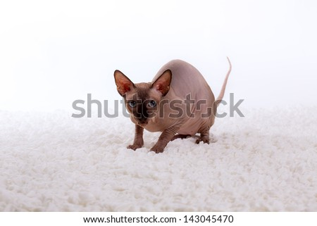 Sphynx cat on a white background - stock photo