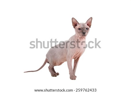 Sphynx cat on a white background.