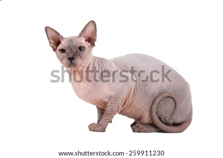 Sphynx cat on a white background. - stock photo