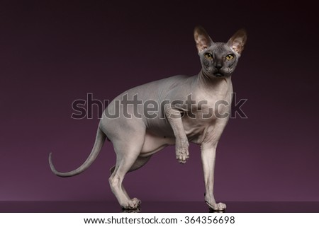 Sphynx Cat Stands and raise up paw on purple background - stock photo