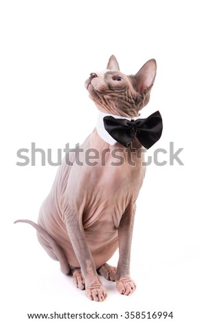 Sphynx cat with bowtie collar sitting on white background shot in the studio - stock photo