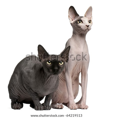 Sphynx cats, 13 months old, sitting in front of white background