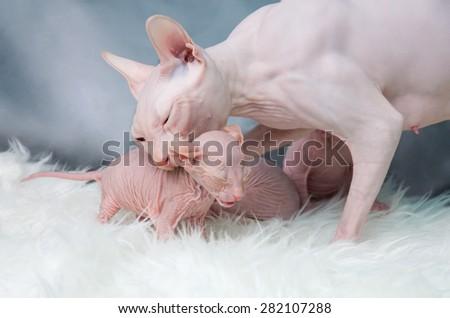 Sphynx hairless cat - stock photo