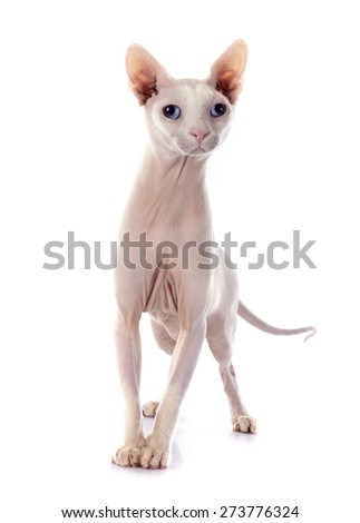 Sphynx Hairless Cat in front of white background