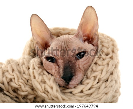 Sphynx hairless cat in warm scarf isolated on white - stock photo