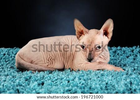 Sphynx hairless cat on blue carpet on dark background - stock photo