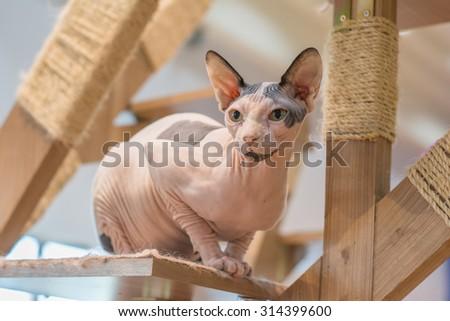 Sphynx hairless cat on wooden cat tree - stock photo