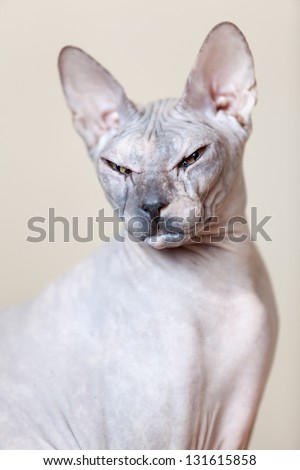 Sphynx hairless cat portrait looking at the camera - stock photo