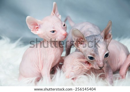 Sphynx hairless kittens  on fur, light laying - stock photo
