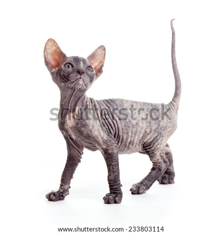 sphynx kitten or cat isolated - stock photo