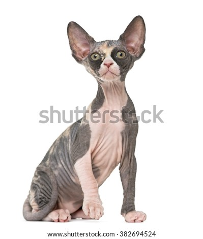 Sphynx kitten sitting, isolated on white - stock photo