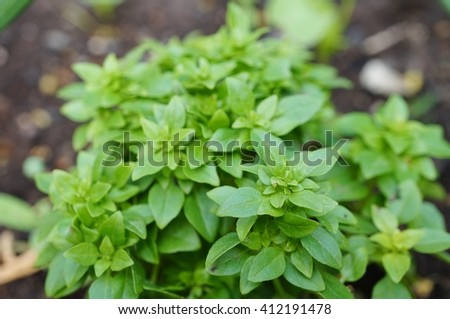 Spicy globe basil growing in the garden - stock photo