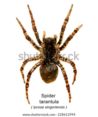 Spider a tarantula  on a white background. lycosa singoriensis - stock photo