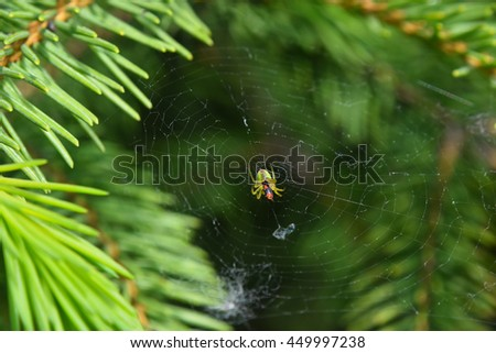 Spider and his prey insect in center of cobweb over green background among pine spruce fir needles, damaged web - stock photo
