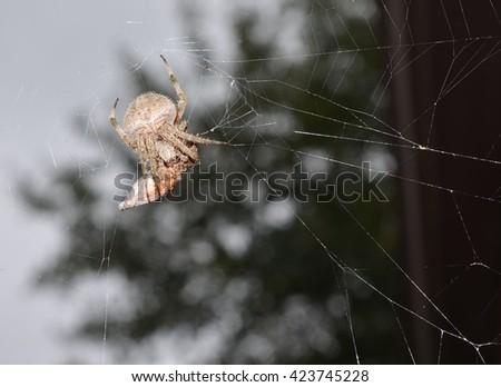 Spider arachnid with prey in spider web - stock photo