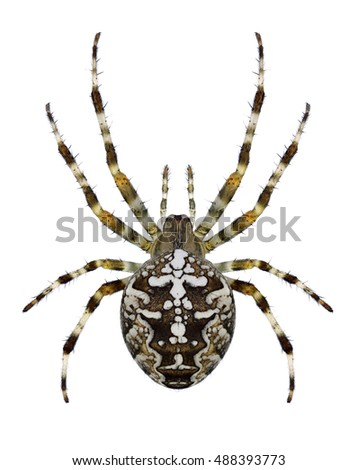 Spider Araneus diadematus on a white background