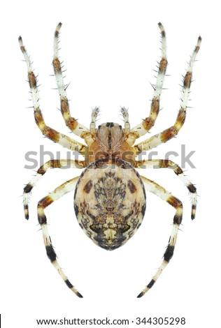Spider Araneus marmoreus (female) on a white background - stock photo