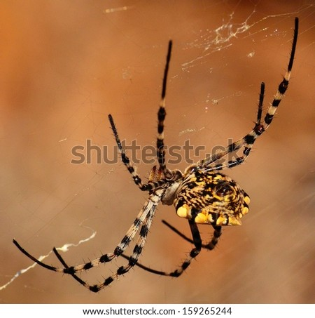 Spider argiope argentata on its cobweb